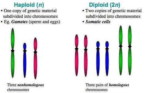 Why must sex cells be haploid jpg 510x329